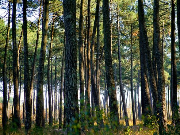 Tyrosse-Forêt-Pins-Phovoir