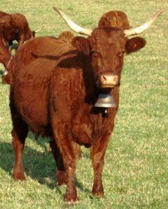 Vache Salers - Wikimedia- B Navez - CCA by SA 3.0